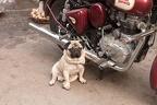 Royal Enfield mit Hund