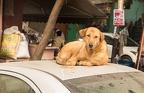 Völlig relaxed von dem Stress auf der Straße, ruht sich der Hund hier gemütlich aus. Das Autodach hat an seiner Stelle eine delle - ist das der Stammplatz des Hundes und hat er das Dach entsprechend eingedeullt?
