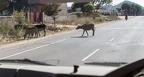 Der indische Autofahrer muß halt statt auf Wildwechsel, eher auf Kuhwechsel achten.