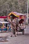 Kamel als Transportmittel